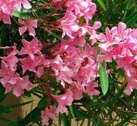 ☺100 graines de laurier rose