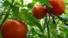 200 Organic Homestead Tomato Seeds - Free Gift - COMB S/H