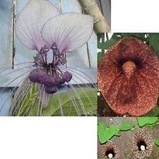 FLEDERMAUS- und GESPENSTER-BLUME ranken durch Wohnung und Garten
