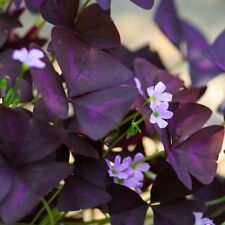 Oxalis Triangularis Bulbs Purple Shamrocks 20 Robust Bulbs Grows Indoors and Out