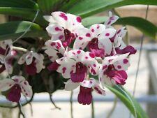 "Rhynchostylis gigantea alba white-purple spot (cartoon) orchid size x 1"" pot"