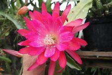 "Epiphyllum Blattkakteen Epicactus /""Monsieur Reviere de Caralt/"" Jungpflanzen"