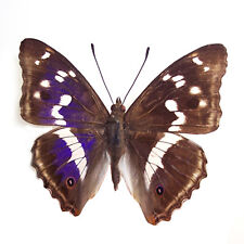 50 pcs wholesale lots unmounted nymphalidae butterfly apatura iris A1 A1-