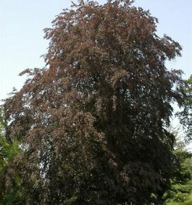 Blutbuche 40-60cm - Fagus sylvatica