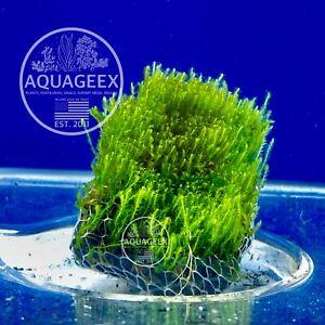 Grown Flame Moss on Rock - Aquarium Aquatic Freshwater Live Plant Java Wood