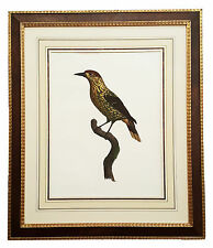 Framed Antique Print Bird of paradise by Barraband With French Matting ca 1806
