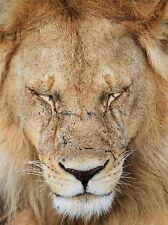 Lion Tanzanie sleeping Savannah macro photo Art Imprimé Poster Photo bmp436a