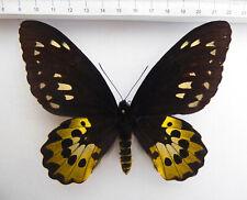 Ornithoptera rothschildi Weibchen, Irian Jaja, Arfak, INDONESIA,viel gelb   09/1