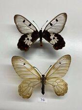 Papilionidae Cressida cressida a1 couple mounted sulawesi