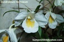Orchid specie seeds: Dendrobium formosum - Year 2018