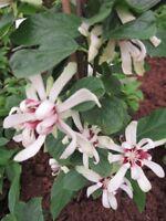 Sinocalycanthus Venus - Orchideenbaum-Gewürzstrauch Venus -