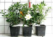 """Gardenia jasminoides """"Sweet Heart""""  - echte Gardenie   (Pflanze) neue Sorte"""