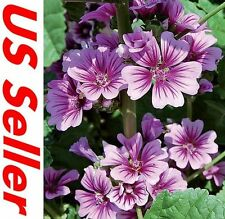 20 Pcs Seeds of Zebrin Flowers G50, Garden Annual Flowers