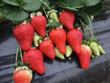 GIANT Delicious Strawberry*60-Finest Seeds*Four Season*One Plant 3-5kg*UK Seller