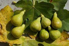 coll de dama blanca(CDDB), 2 fresh fig cuttings.