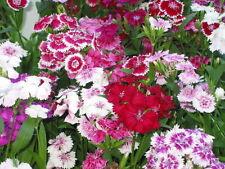 DIANTHUS - TELSTAR - MIXTURE - 6 STARTER PLANTS - LIVE PLANTS