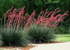 Red Yucca Seeds (Hesperaloe parviflora) -30 Seeds Per Pack-