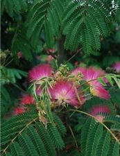 LIVE Potted Mimosa Tree 8-12+ Inches Albizia julibrissin