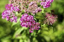 Spiraea Summer Neutral Shrubs & Hedges