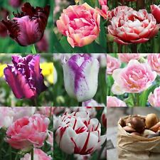 Tulips Bulbs Spring Flowering Flowers Perennial Garden Plant Beautiful