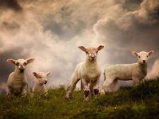 Corderos ovinos de animales de granja nubes Foto impresión arte cartel Imagen bmp1648a
