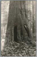 RPPC Postcard Crescent City CA Man standing in the Redwoods Tree hiding place