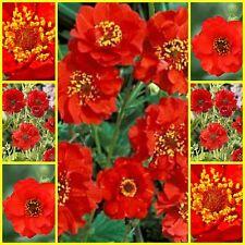 "Geum ""Mrs Bradshaw"" 30 seeds Avens flower seeds"