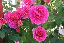 Rose Bush Seeds - GENTLE GIANT -  Hybrid Tea Rose - Beautiful Blooms - 20 Seeds