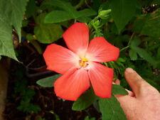 Hibiscus Manihott Red,10 seeds