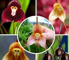 Assorted Monkey Face Orchid Plant Seed 80 SEEDS--BUY 4 ITEMS FREE SHIPPING