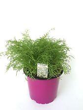 Echte Kamille, Kamille Pflanze, Aus Nachhaltigem Anbau !