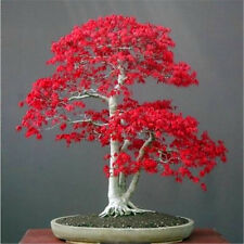20seeds Potted Flowers American blood red Maple Tree seeds Balcony Bonsai Plant