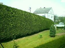 50 Leyland Cypress / Green Leylandii 25-30cm Tall in 9cm Pots, Evergreen Hedging