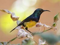 HUMMING BIRD CLOSEUP BLUE YELLOW PEACH NATURE PHOTO ART PRINT POSTER BMP1252A