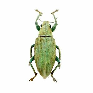 Gold-dust Weevil Beetle (Hypomeces squamosus) Insect Specimen Taxidermy