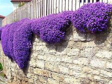250 Aubrieta Seeds-Cascade Purple FLOWER SEEDS,perennial ground cover-rock cress