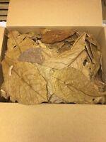 Seemandelbaumblätter 0,5 Kg unsortierte B-Ware Catappa Leaves Wasseraufbereitung