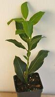 Bay Leaf Herb ~ Sweet Bay Laurel ~ Laurus nobilis ~ Live Plant