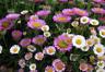 Vittadenia karvinskianus seeds - graines vergerette erigeron profusion flower