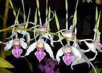 Rare orchid species  (seedling size) - Dendrobium antennatum