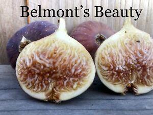 """fig tree cuttings """"Belmont's Beauty"""""""