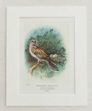 Turtle Dove Bird, Nest & Eggs - Mounted Antique Print 1910 Book Plate 43