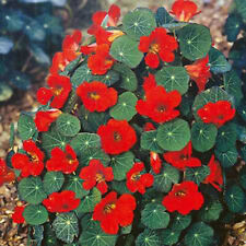 FLOWER NASTURTIUM EMPRESS OF INDIA 140 FINEST SEEDS TROPAEOLUM #4430