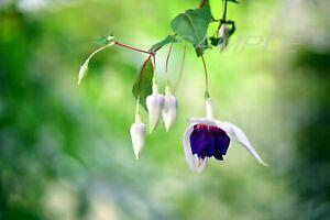 Beautiful FuchsiaⅡ Photo Printable Photograph