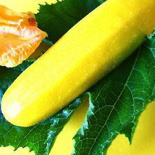 COURGETTE - GOLDRUSH [F1 Hybrid] - 12 Seeds [..classic, golden-yellow fruits]
