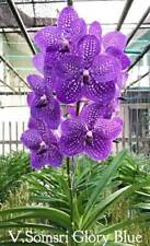 Vanda orchidee somsri Glory Blue pianta giovane M 2-6
