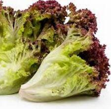 LOLLO ROSSO Lettuce Lactuca sativa deep-red plants – 6-cell seedling punnet