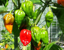 Deadly Naga Chilli - An Extreme Hot Chilli from Bhut Jolokia/Ghost Chilli Family