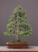 Norway Spruce bonsai starter kit(Picea abies) seedling 4 to 8 inches