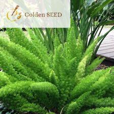 100 Seeds Foxtail Fern Rare Unpretentious Evergreen Perennial Ornamental Plants